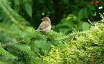 Vrabec