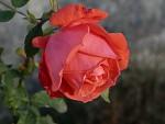 Růže kvetou v listopadu