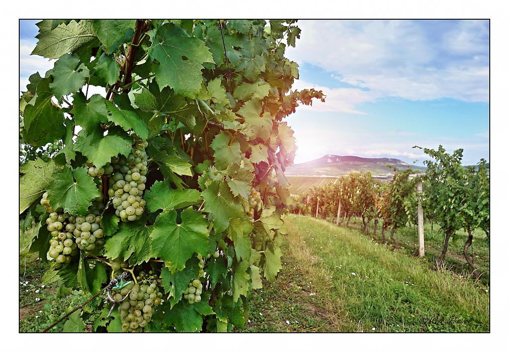 vínko v září