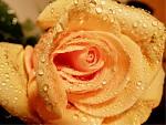 Orosená růžička