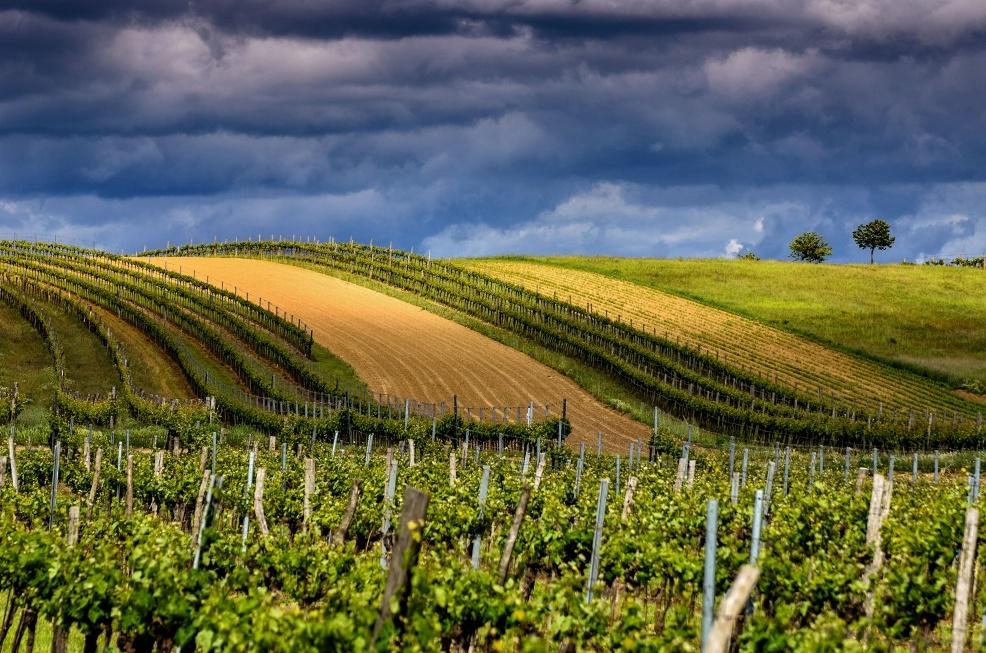Na vinicích