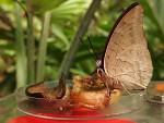 Olympus XZ-10, sosající motýl na krmítku