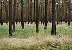 V borovém lese