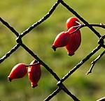 Dekorativní rezavý plot