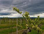 Jarní vinohrad