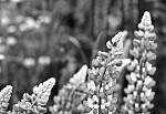 Lupinus polyphyllus