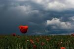 Mák s bouřkou