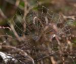 Pavoučí korálky