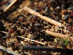 mravenečkové jak sa pilně procházajů