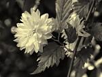 Něžný plevel