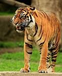 Tygří krasavice