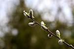 Salix semipalatinskensis