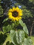 Sunflower in the rain...