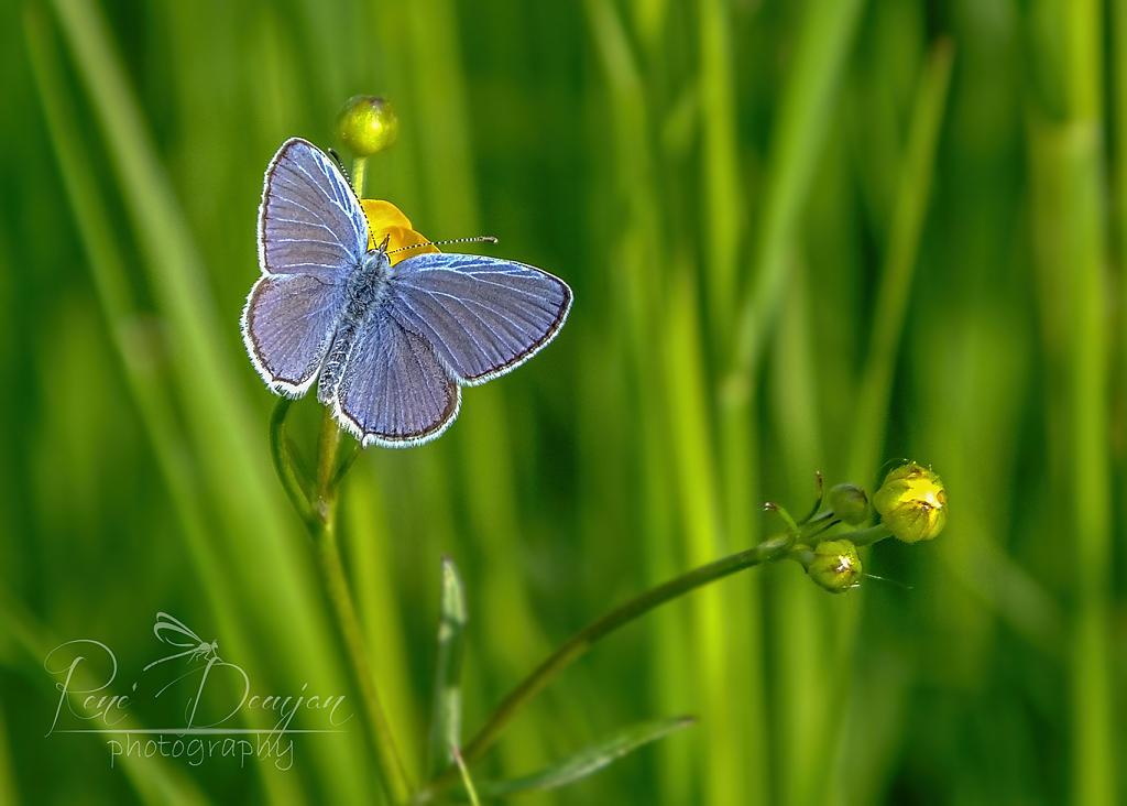 modráčik lucernový