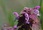 hluchavka purpurová