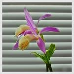Orchidejová