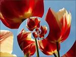 Rozpustilé tulipány