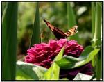 motýlí snídání