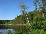 Bříza na  Medlovském rybníku