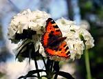motýl :)