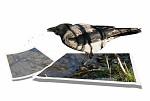 Vrana sivá