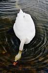 Labutě - jedna jídlo hledající, druhá šmírující
