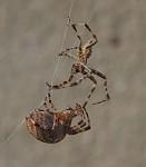 pavoučí námluvy