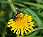 prostě včelka