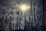 Slunce a rákos