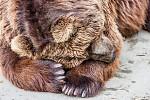 Odpolední siesta - Kamčatský medvěd