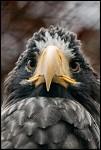 Orel kamčatský