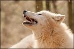 Rozchechtaný vlk