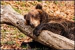 Odpolední siesta - mladý medvěd