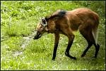 Vlk hřivnatý