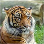 Tygr Dandys