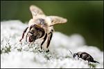 Lesní včela