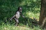 Malý opičák