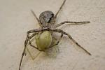 pavouk a oběť