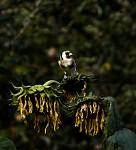 Stehlík a plačící slunečnice
