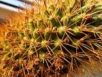 Kaktus - makro I