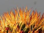 Kaktus - telemakro