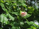 Jedna - Růžová -