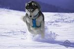 Siberian husky - Argo - Hunter