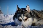 Siberian husky - Argo - Model