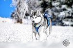 Siberian husky - Enya - Queen of Mountains II