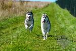 Siberian husky - Running