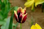 tulipan 2