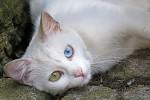 Okatá kočka II