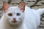 Okatá kočka