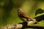 Syn starýho vrabce